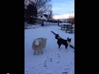 苏格兰一只绵羊跟边境牧羊犬一起长大 边牧和什幺狗相像